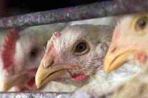 gripe.aviaria-160913