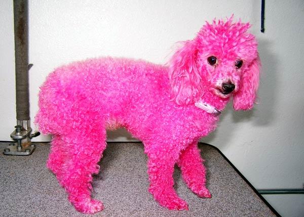 Pink-Poodle-Pre-web