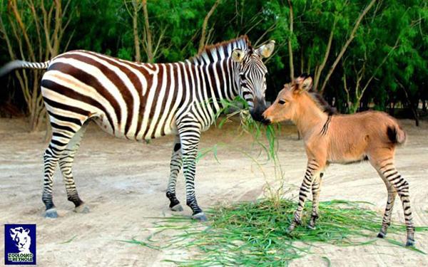 zebrasno