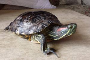 tartarugafujona
