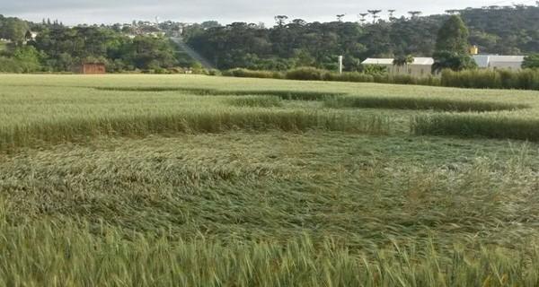 Imagens feitas por drone mostram o sinal na plantação de trigo (foto: Divulgação/Filmes Novelo)
