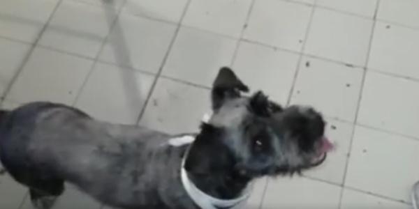 cão-sansão